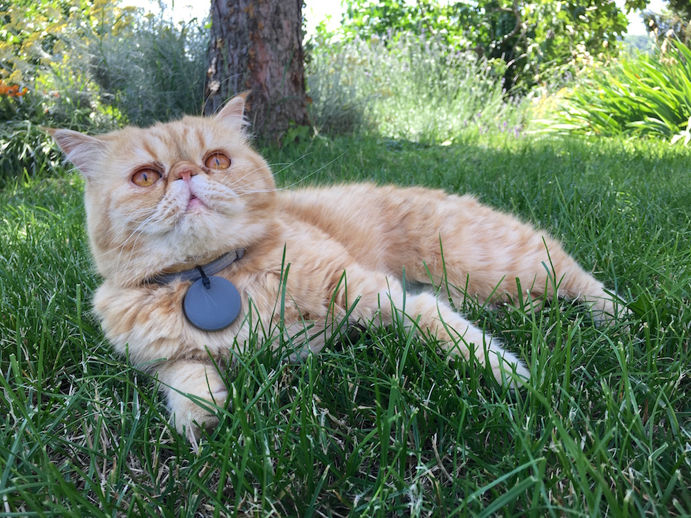 cat with tabcat lying on grass