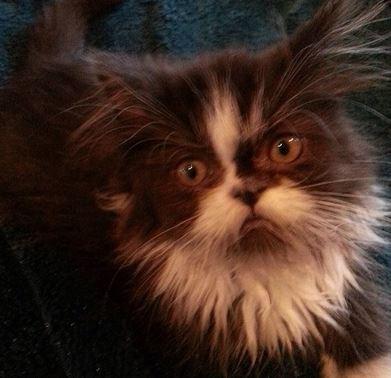 fluffy persian cat