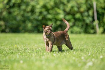 Gizmo burmese latvian cat