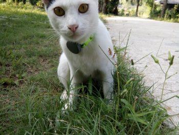 Tun Thai cat