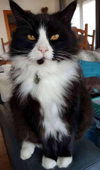 Ollie Norwegian cat