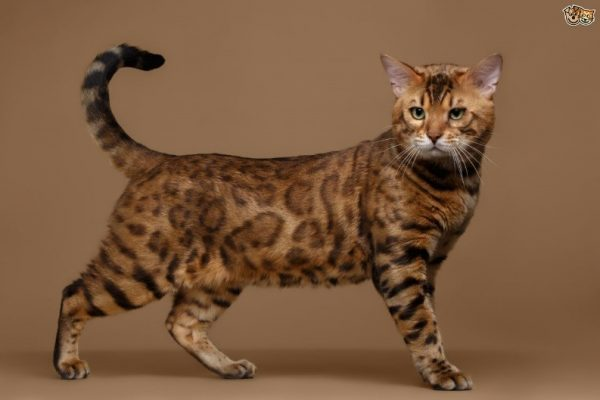 The Bengal