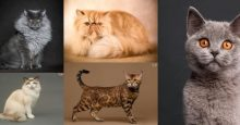 popular cat breeds