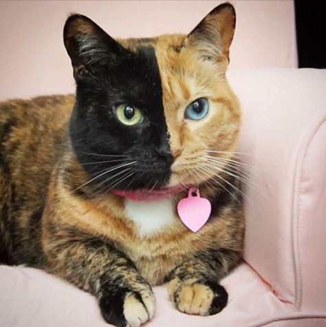 Venus 2 faced cat