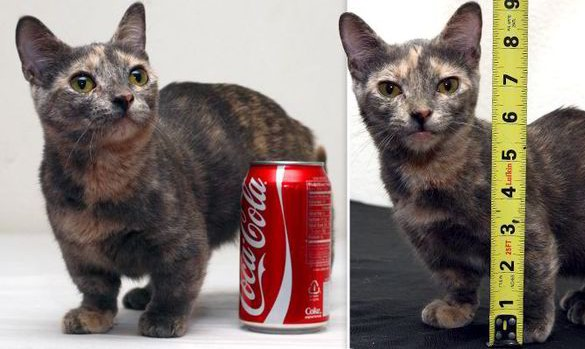 pixel the munchkin cat worlds smallest cat - Smallest Cat In The World Guinness 2015